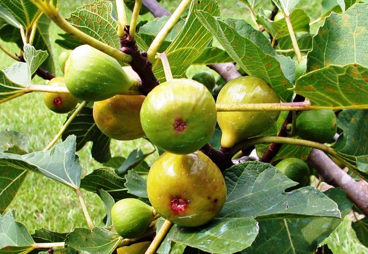 Figs harvesting season