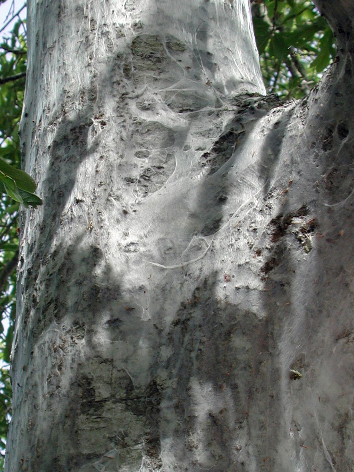 Barklice on trees