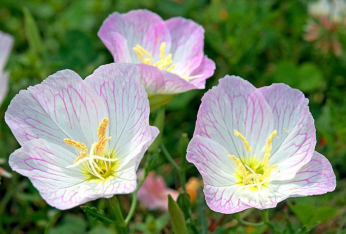 Roadside wildflower of the week Pink Evening Primrose