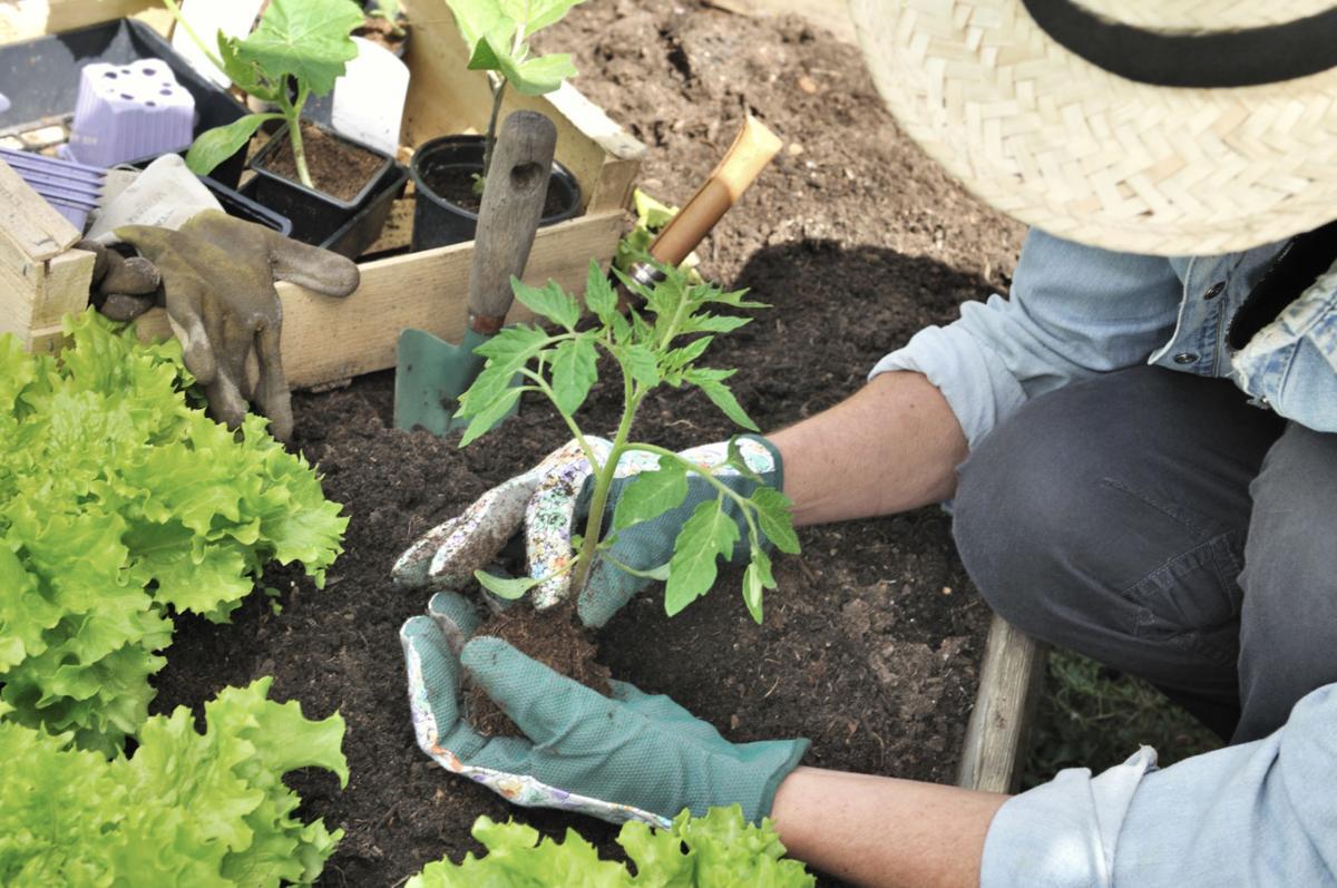Gardener planting vegetable