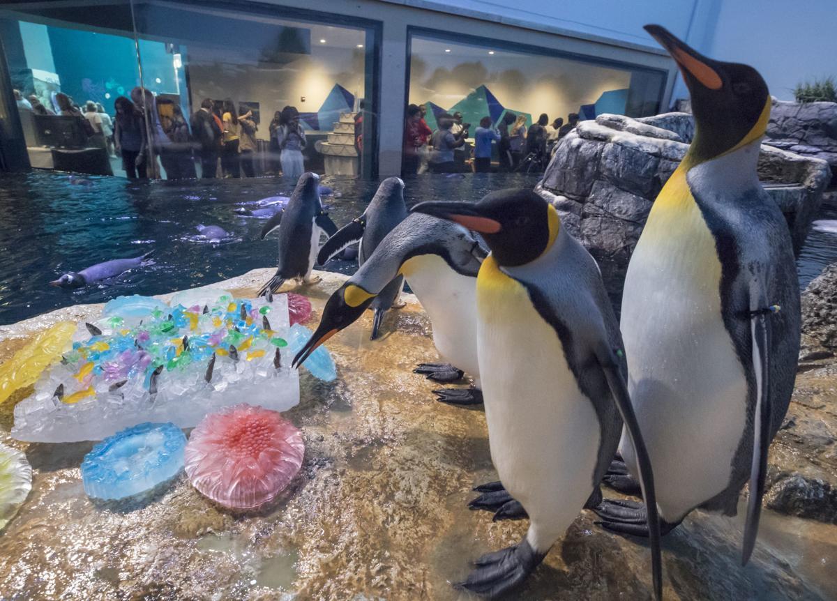 Moody Gardens King Penguin Anniversary
