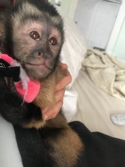 Lilly the Capuchin Monkey