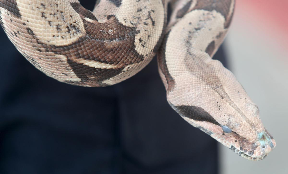 League City police department rescues red-tailed boa