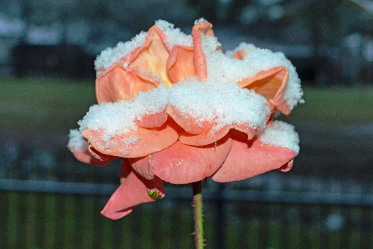 Cold-sensitive plants