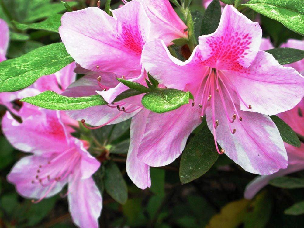#11 - (03-13-19)  ~ DSCN3978 - Azalea flowers by Linda Steber.jpg