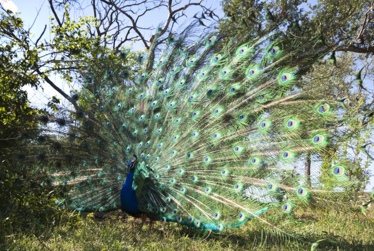Island's peacocks are on parade, for a little while   Outdoors   The