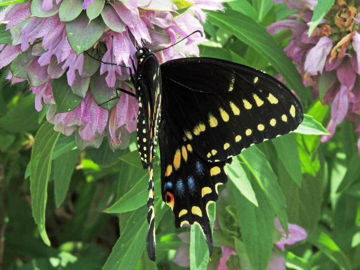 Swallowtail butterfly on horsemint