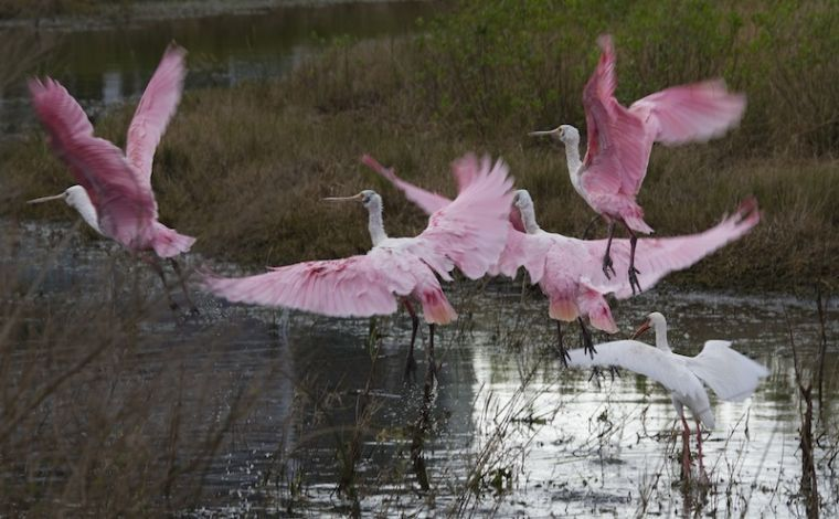 Roseate spoonbills seeking shelter