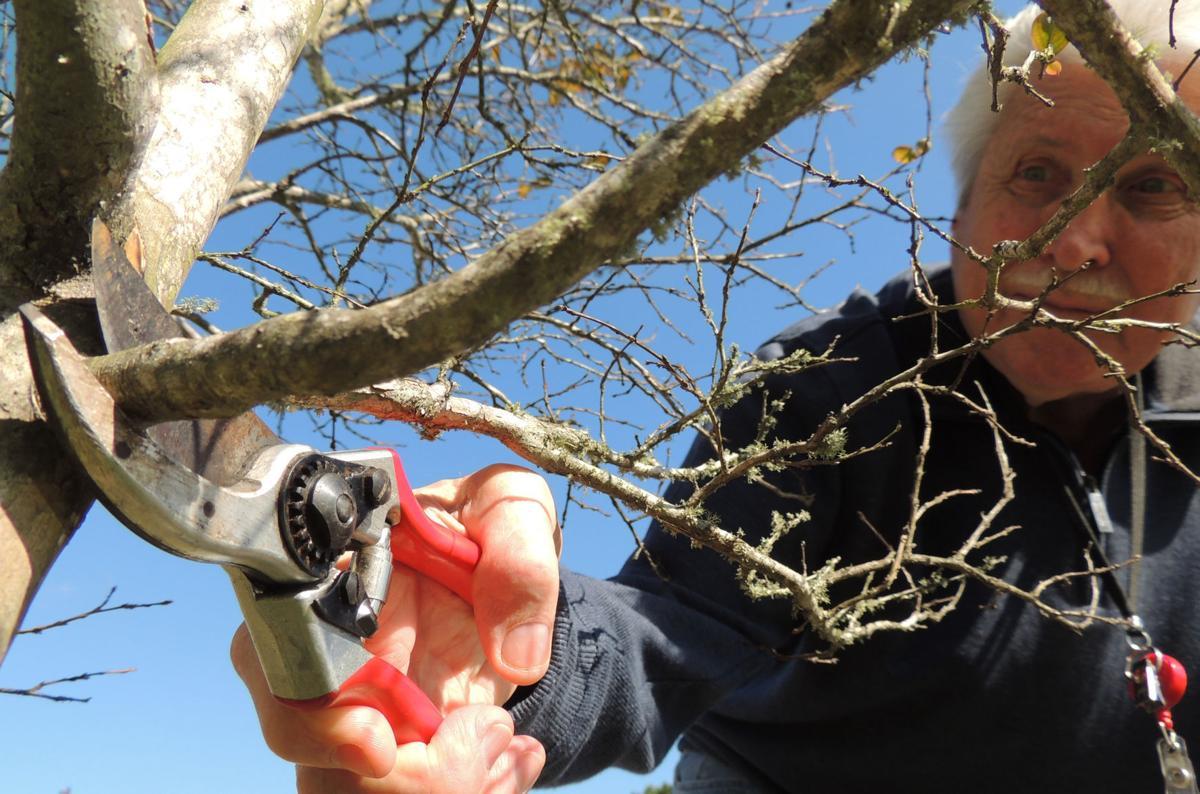 Pruning crepe mrytle