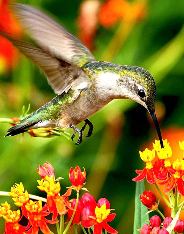 Gardening for Jewels Hummingbirds