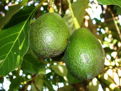 Growing Avocados