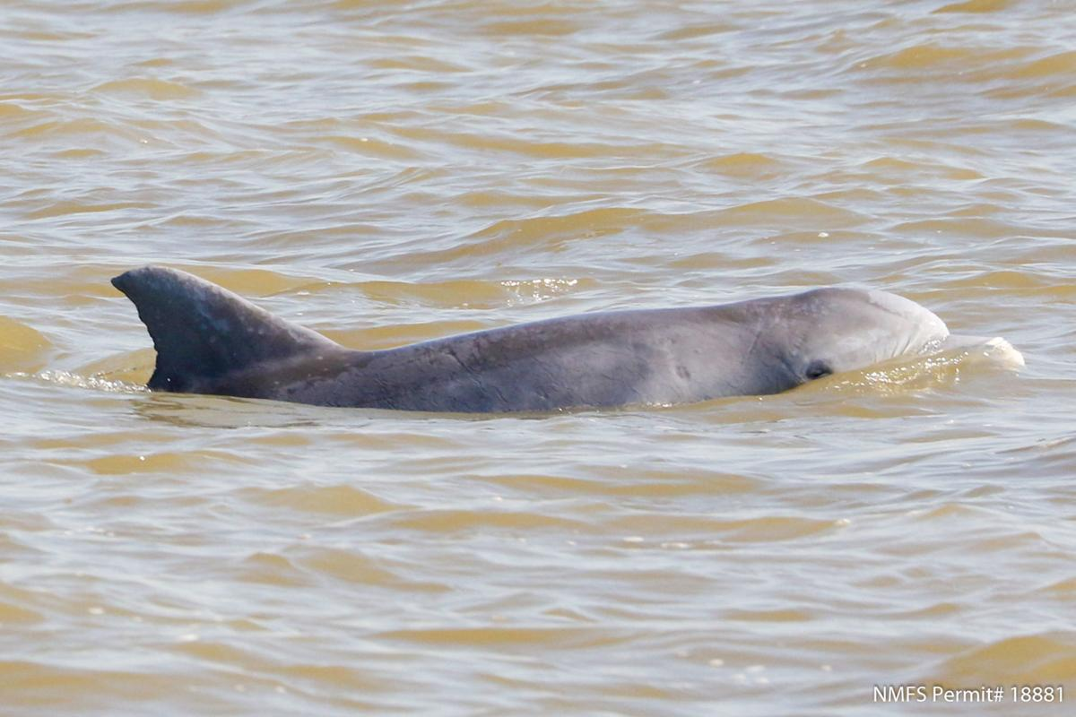 A dolphin with lesions