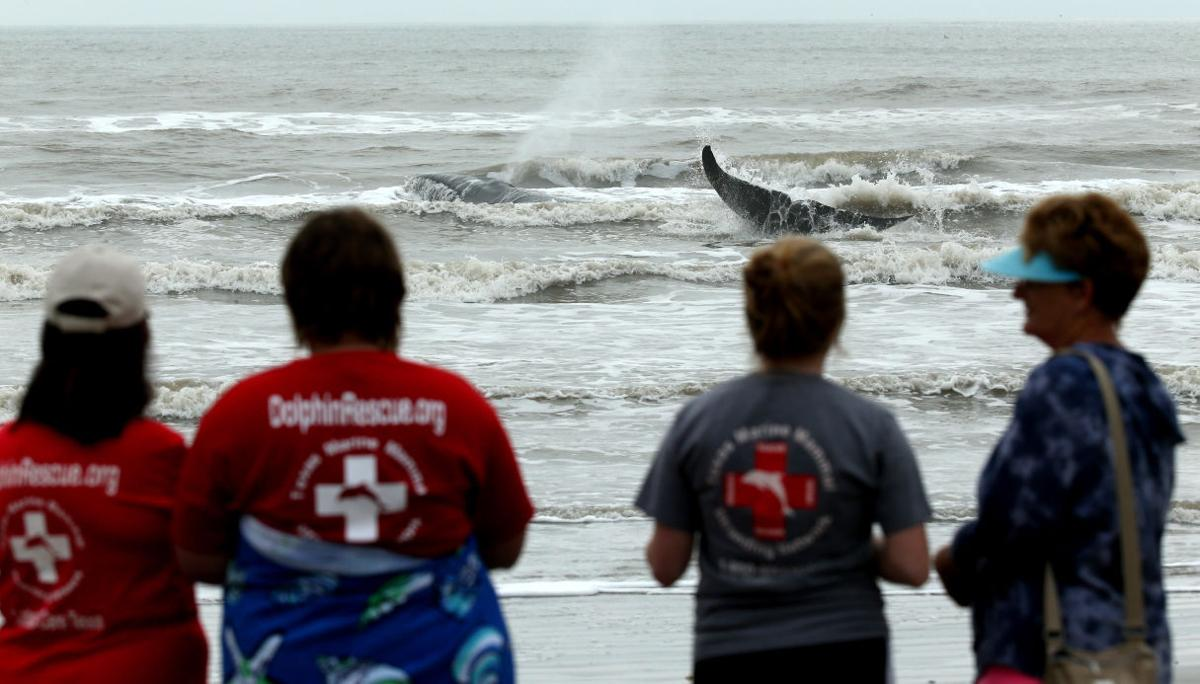 Whale Beached on Galveston's West End