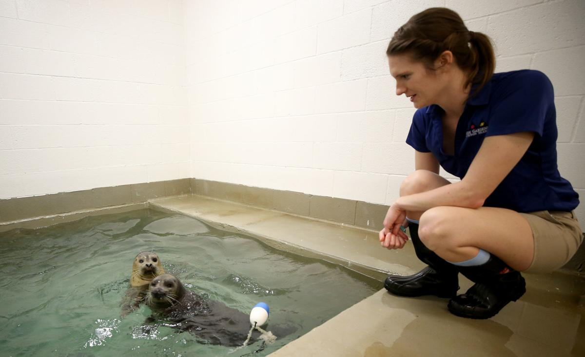 Harbor seals get home at Moody Gardens Aquarium Pyramid