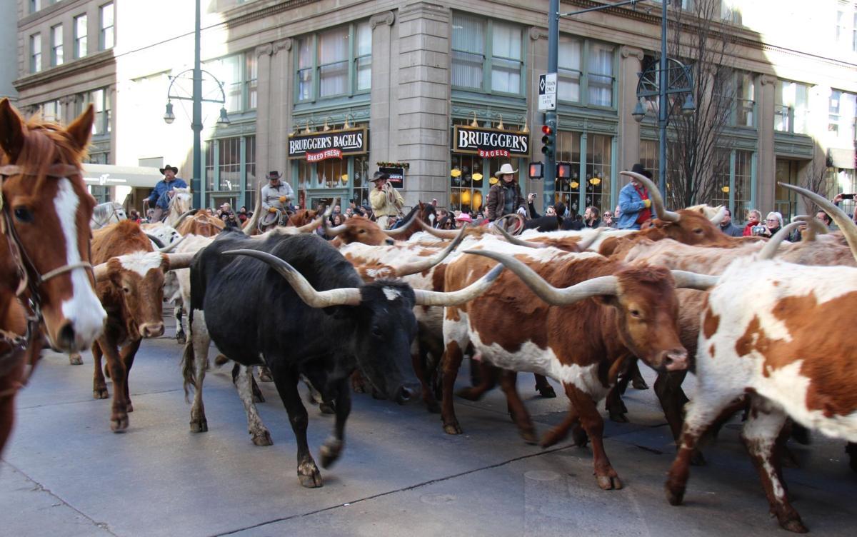 Searle Ranch longhorns kick off 2020 stock show