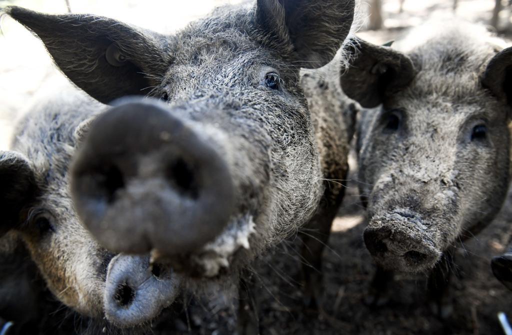 Colorado Springs farmer raising rare breed Heritage animals