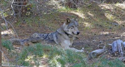 Grey Wolf Dead (copy)