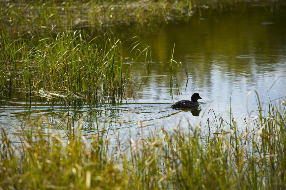 A duck floats across a pond Wednesday, Sept. 7, 2016, next to Trappers Lake Lodge in northwest Colorado. (The Gazette, Christian Murdock)
