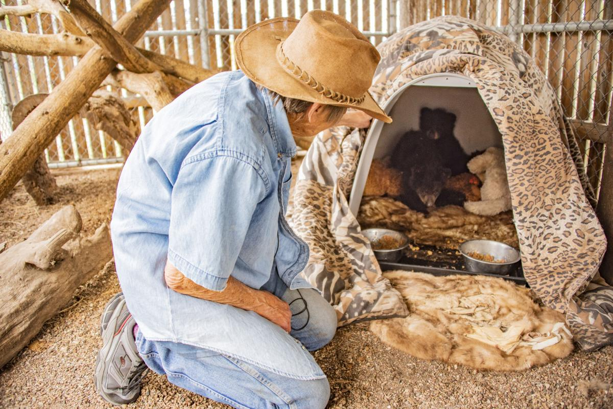 Colorado bear sitters toe the line between nurture and nature