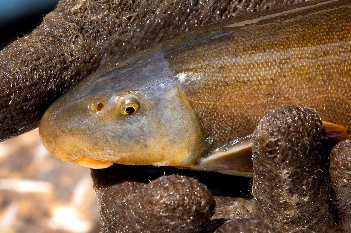 Animas River fish 2