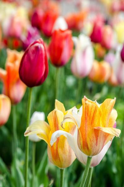Debra Othitis Tulip picture.jpg