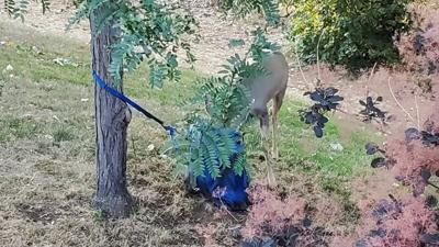 deer stuck
