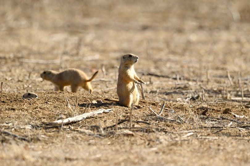 Prairie-dog-populations-Colorado-HR-02-15-17-