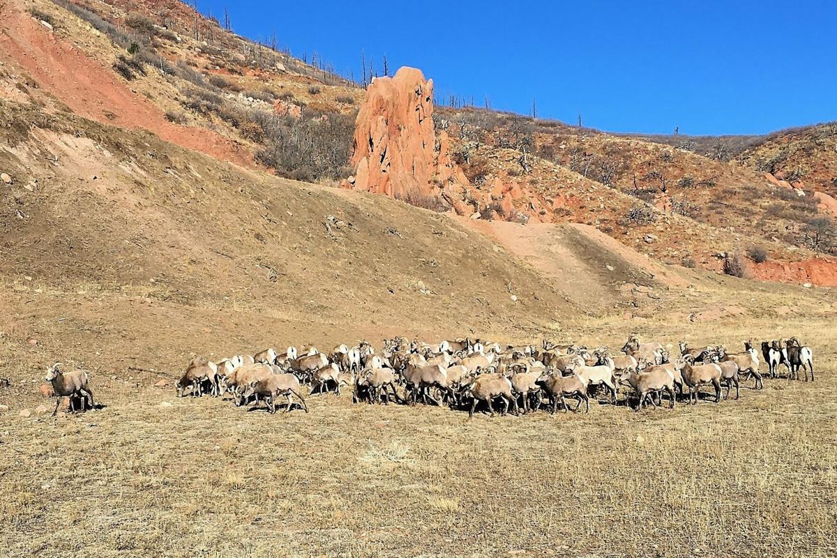 Big Horn Sheep Colorado Springs (Photo) Credit April Estep, Colorado Parks and Wildlife