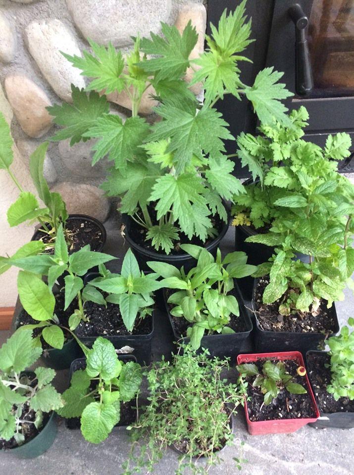 ms garden club medicinal plants.jpg