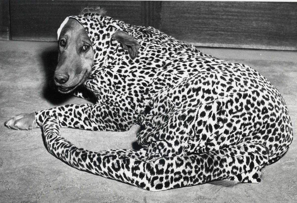 dog is pictured in a leopard costume at the Circus Ball