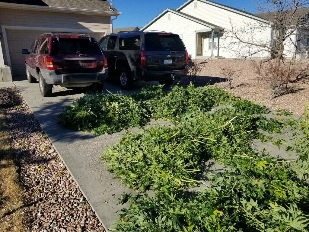 Collateral Impact: No one is keeping track of Colorado's black market pot
