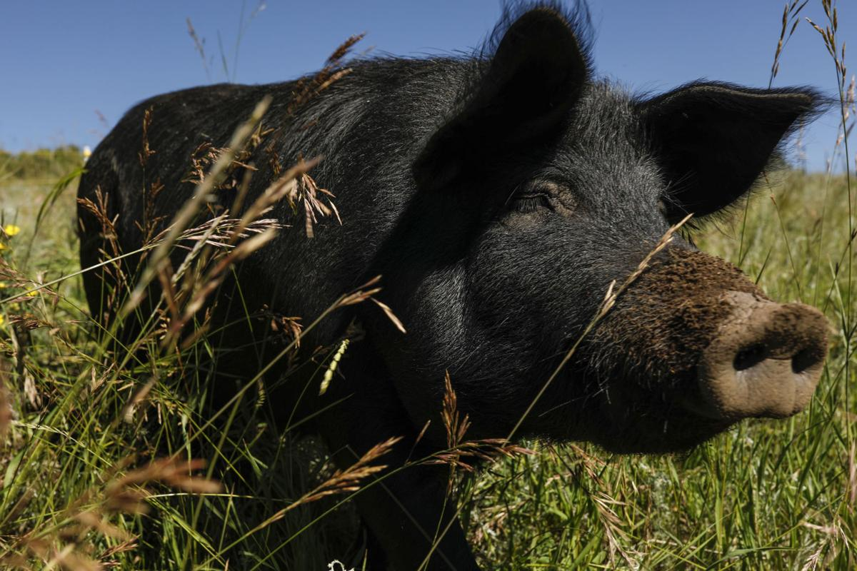 Black Forest farmer creates hog heaven at former horse ranch