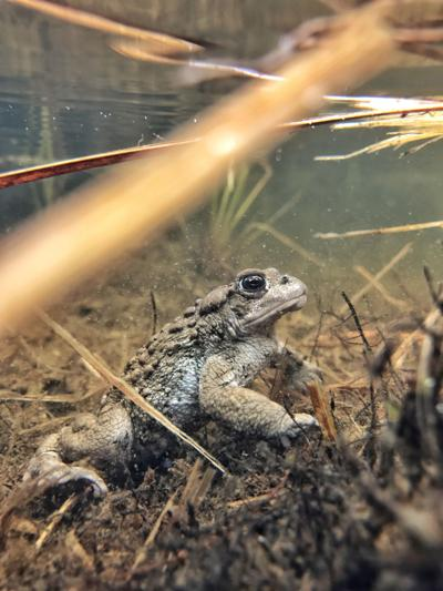 Boreal Toad (copy)
