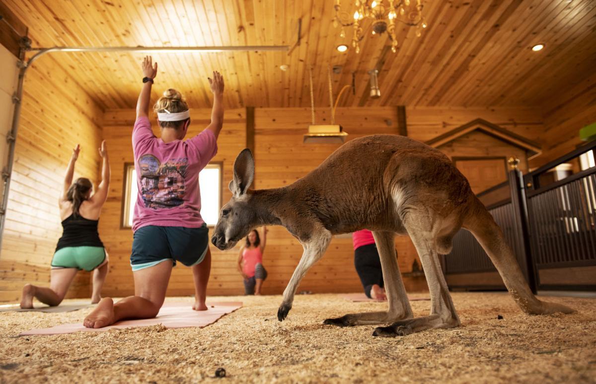 081119-fam-ent-kangaroo-yoga 03