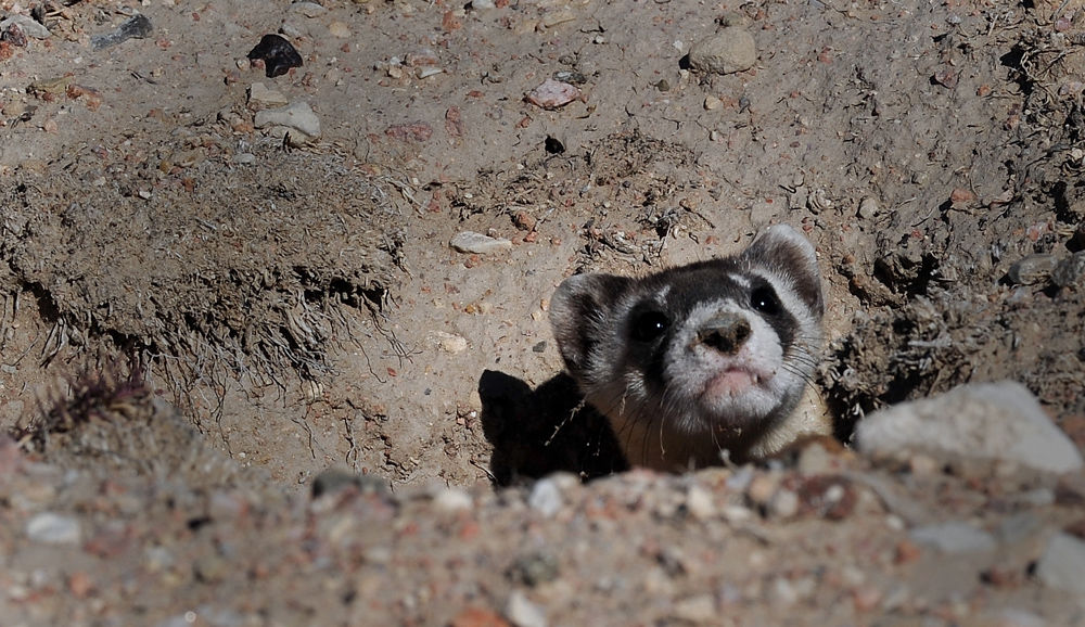 A black-footed ferret peeks out if his new home after being released into the wild Wednesday, Oct. 30, 2013, at the Walker Ranch west of Pueblo. About 35 of the captive-bred animals from the Cheyenne Mountain Zoo were introduced to the ranch after new legislation allowed the endangered species to be introduced on private land. (The Gazette, Christian Murdock)