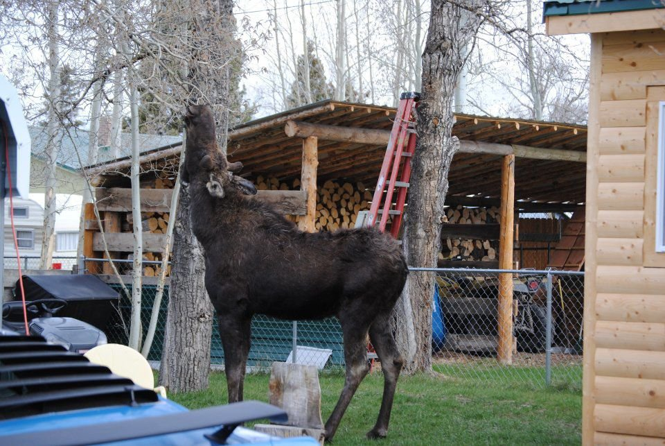 Outward Bound: Searching for moose in Colorado's 'Land of Hidden Treasures'