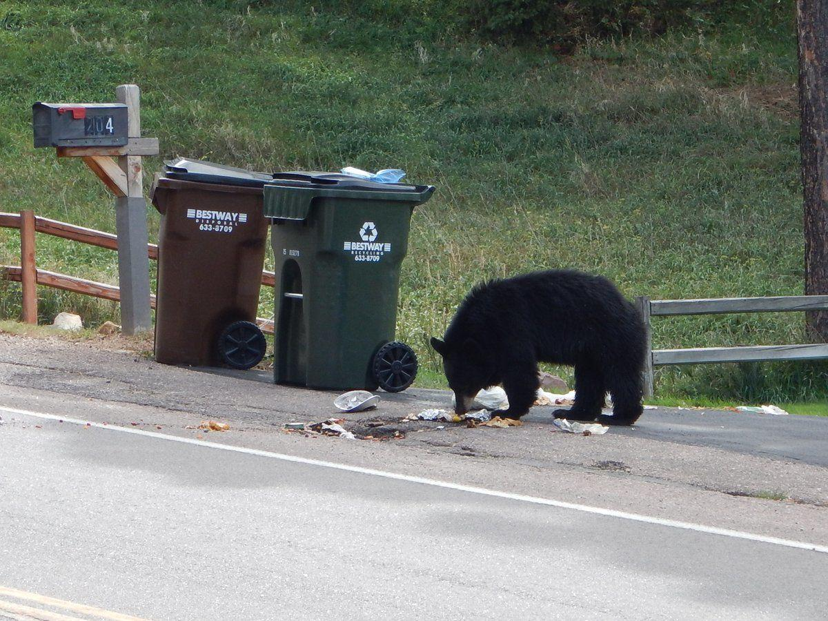 Bear on feeding frenzy rummages through Colorado Springs garbage