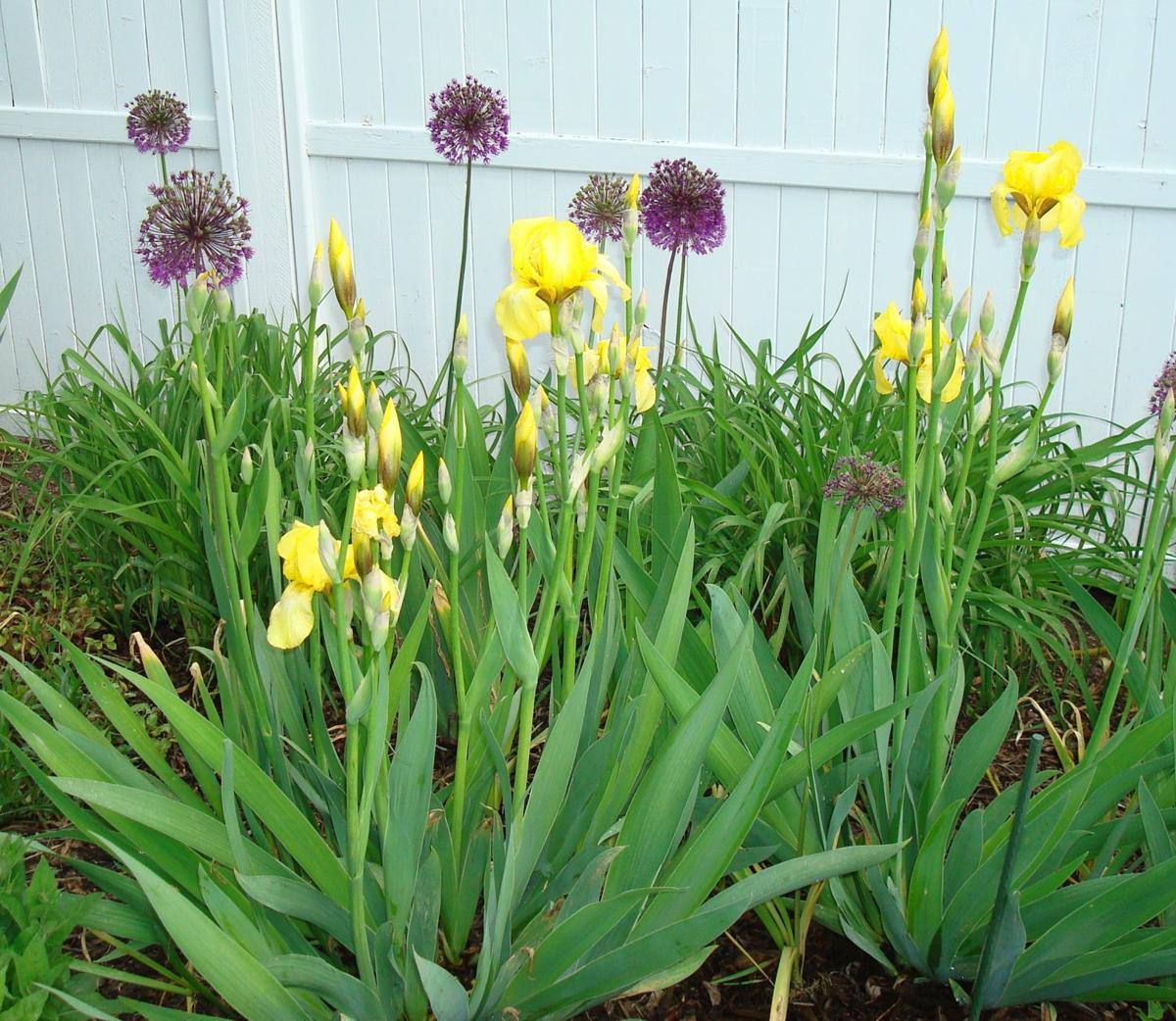 Year Round Gardening: May Garden Calendar Average last frost date in town: May 10 to May 15