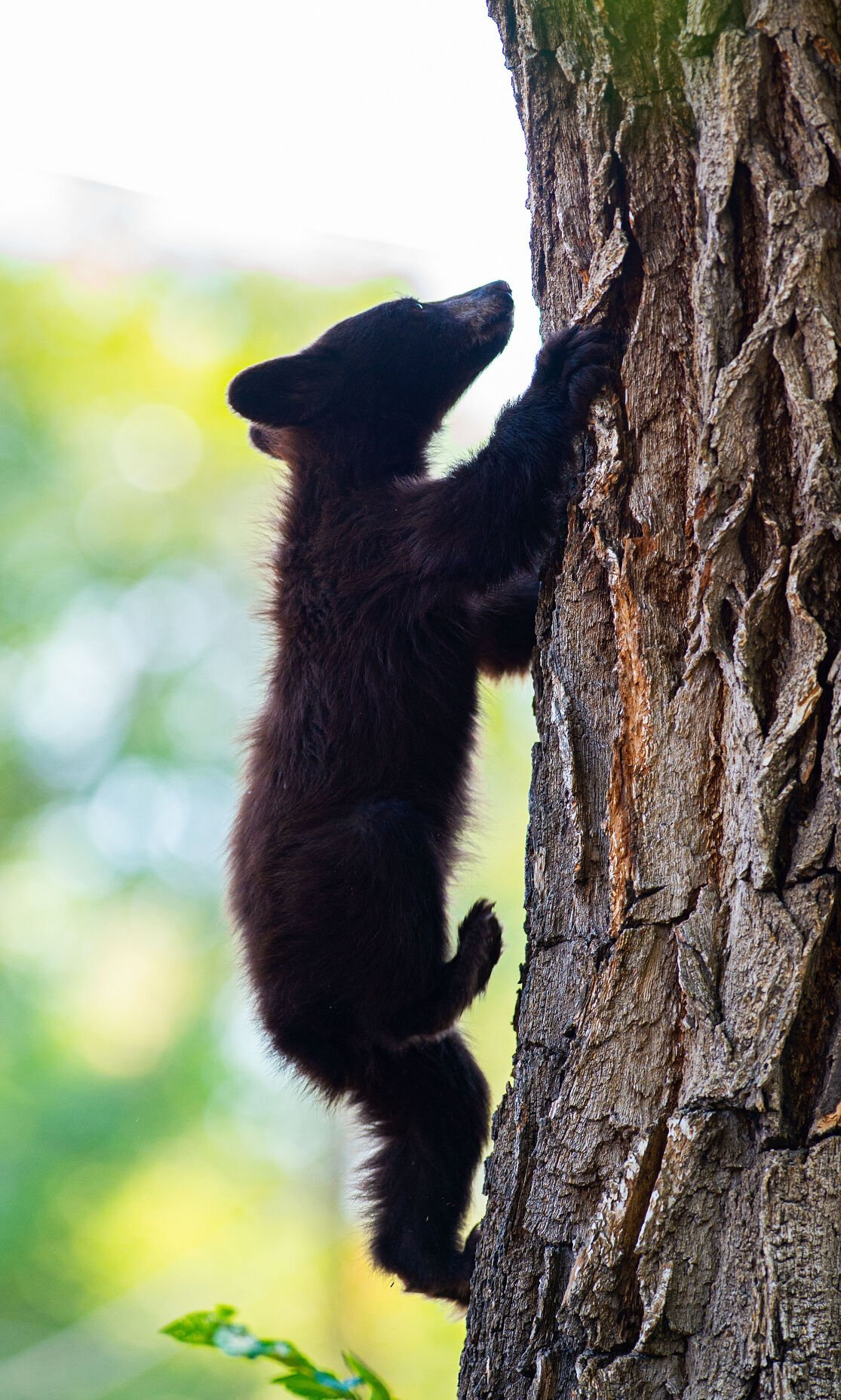 Bears take shelter in tree near downtown Colorado Springs