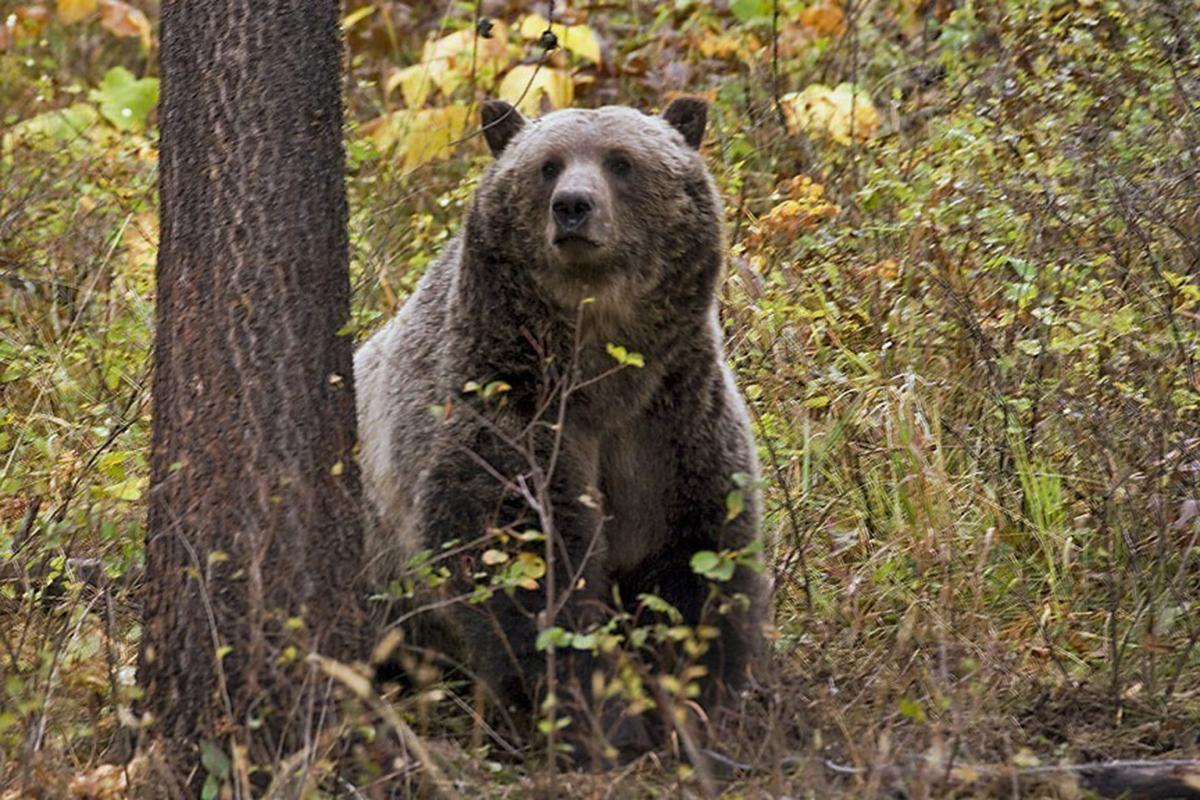 Hunting Grizzlies-Congress (copy)