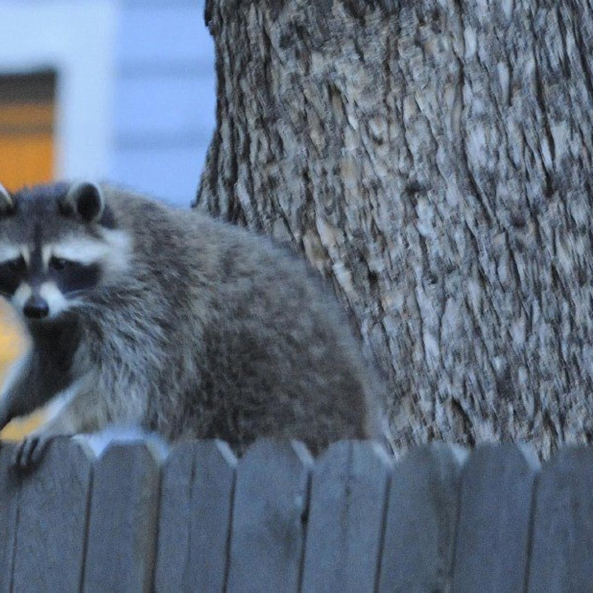 It's winter. Watch out for falling raccoons. | Colorado ... on raccoon in bedroom, raccoon in bed, raccoon in kitchen, raccoon in attic, raccoon in garage, raccoon in paint, raccoon in space, raccoon in room, raccoon in box, raccoon in office, raccoon in sink, raccoon in building, raccoon in water, raccoon in bathroom, raccoon in log, raccoon home, raccoon in bath, raccoon in wall, raccoon in the floor, raccoon in chair,