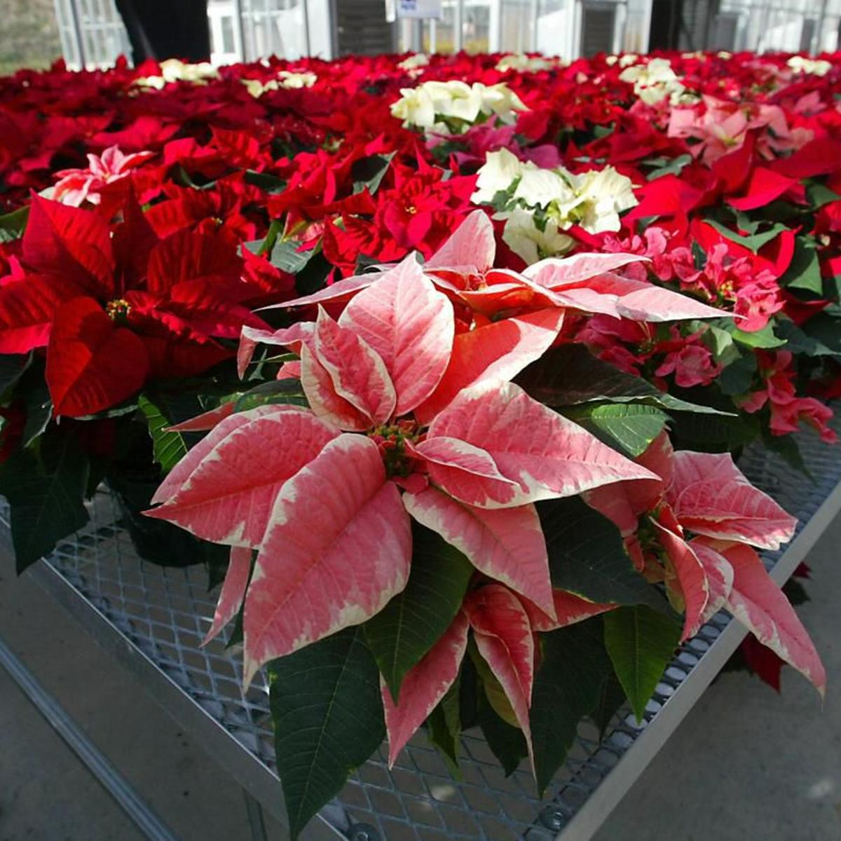 Can The Season S Plentiful Poinsettia Displays Be Harmful To You Or Your Pets Lifestyle Gazette Com