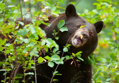 CHEYENNE CANON BEAR
