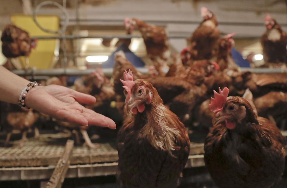 CDC: Stop kissing and snuggling with chickens