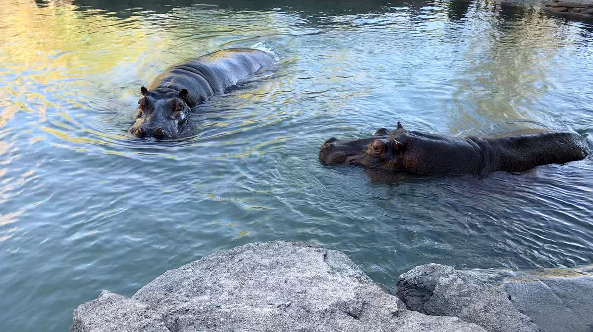 CMZoo Water's Edge Africa Nile Hippos in Water 2.jpg