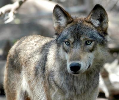 Congress Wolves (copy)