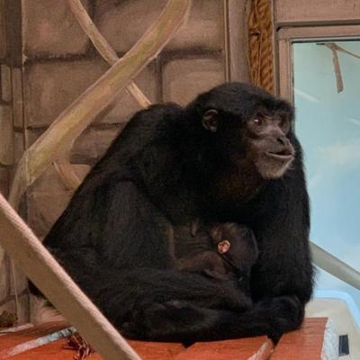 Baby Ape at Cheyenne Mountain Zoo
