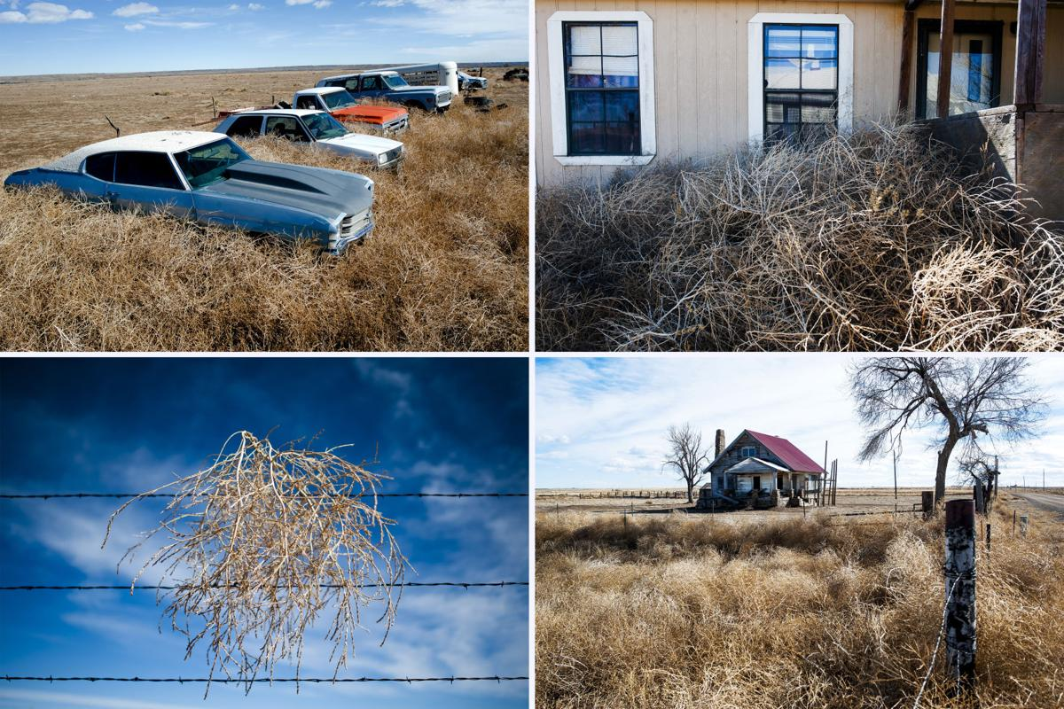 Colorado tumbleweed explosion creating hazards and headaches for many