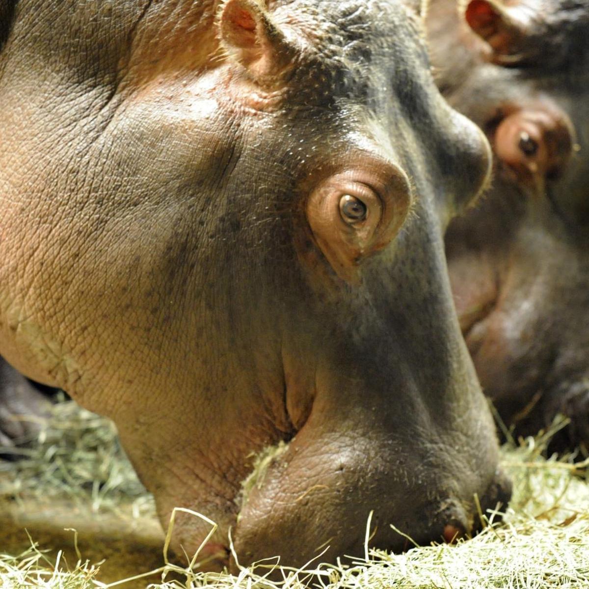 2 hippos to return to Cheyenne Mountain Zoo after Missouri
