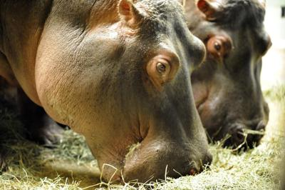 2 hippos to return to Cheyenne Mountain Zoo after Missouri 'vacation'